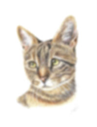 coloured-pencil-pet-portrait-tabby-cat.j