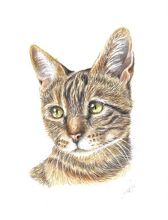 coloured-pencil-pet-portrait-tabby-cat.j