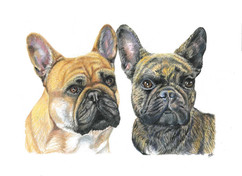 pet-portrait-of-french-bulldog.jpg