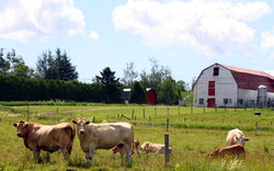 vaches au pré été