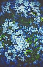 Plumbago en fleurs au Domaine des Danjean