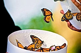 lâcher de papillons, mariage et cérémonie laïque