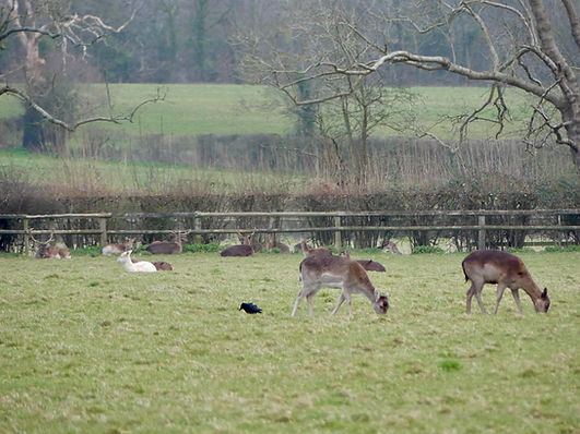 Well managed fallow deer on local farm.