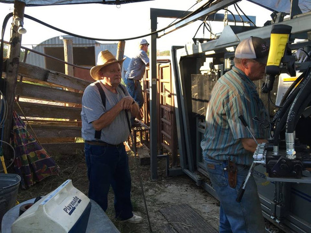 Processing Calves