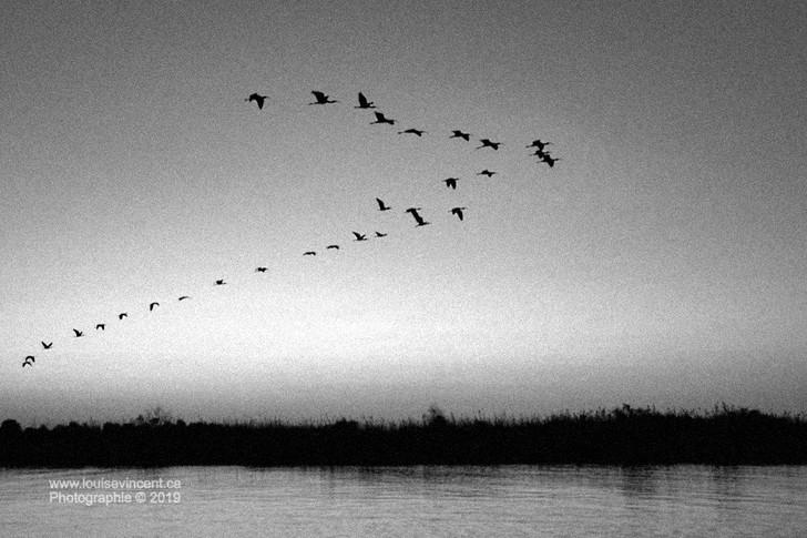 Vol d'ibis (étude noir et blanc)