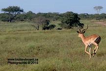 Impala courant dans la steppe de l'Afrique du Sud