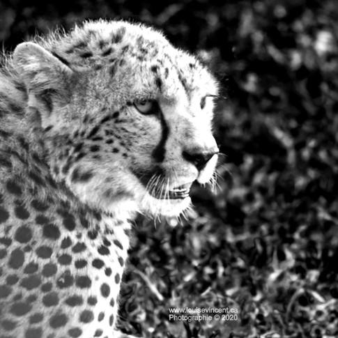 Maman guépard surveille ses petits