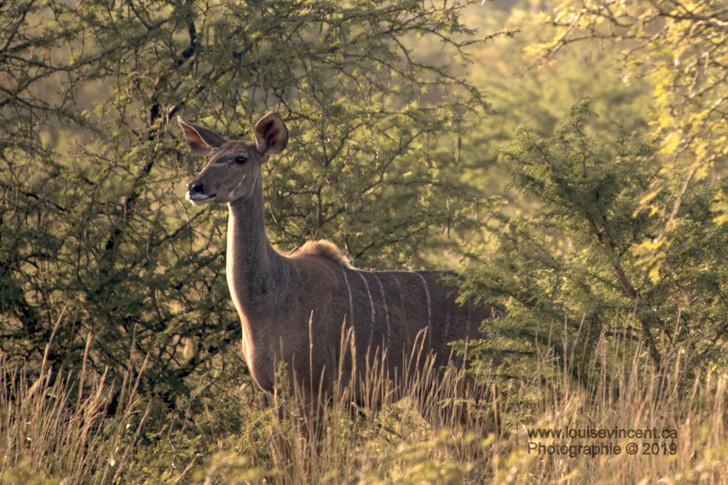 Noble kudu