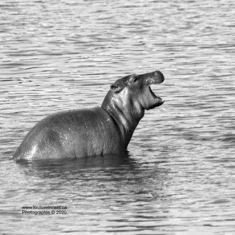 Bébé hippo sur le dos de sa maman!!!