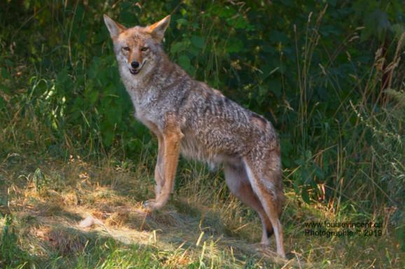 Fier coyote