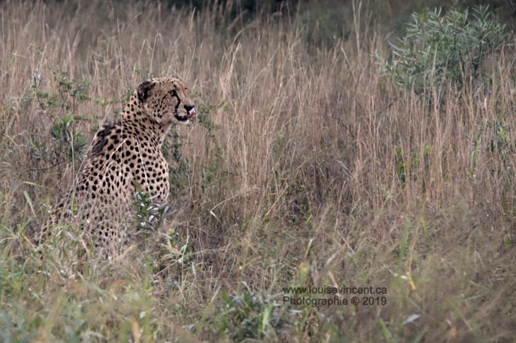 Mon guépard qui déjeune à l'antilope