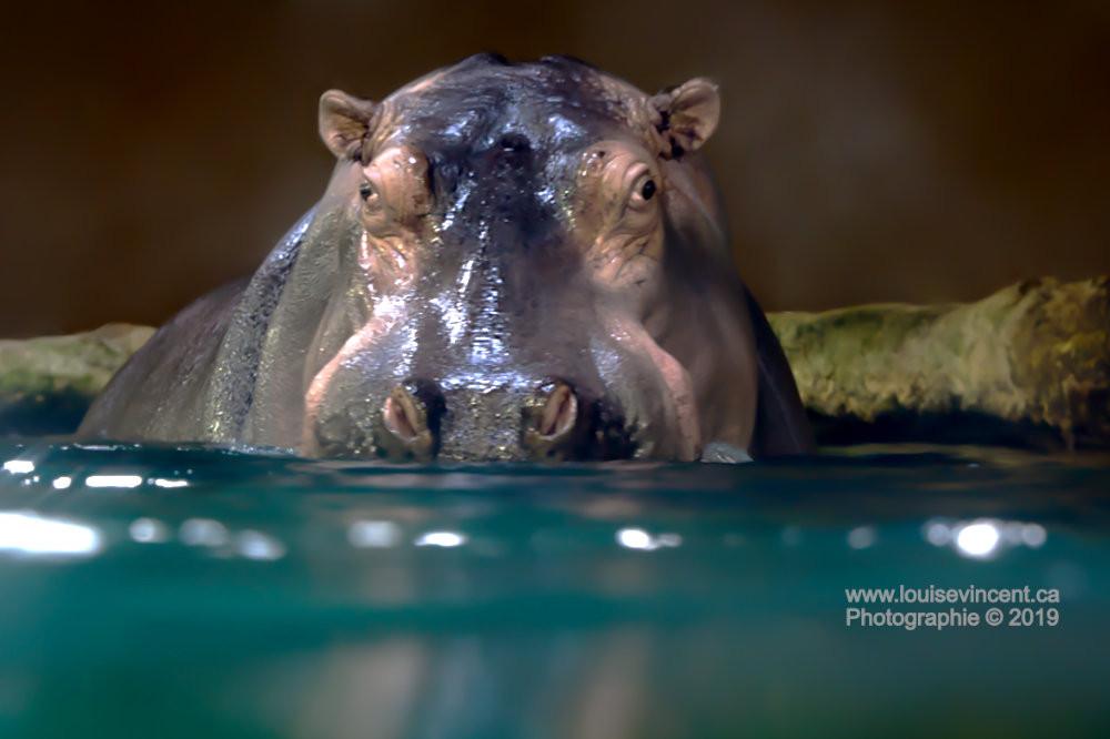 Regard d'hippo