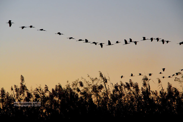 Vol d'ibis au soleil couchant