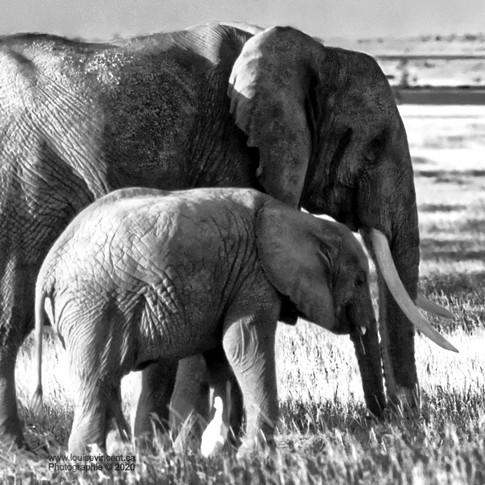 Sous les jupes de maman éléphant
