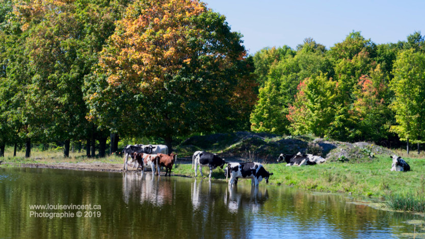 Paradis pour vaches!
