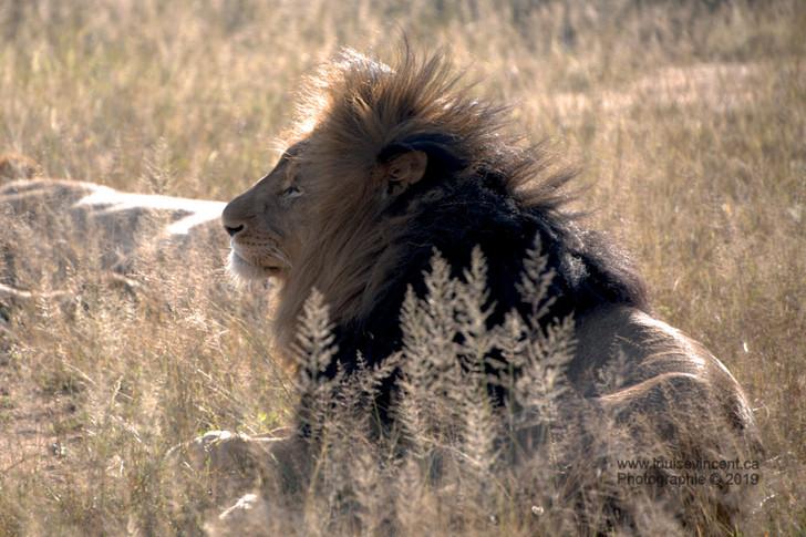 Le roi de la jungle se repose