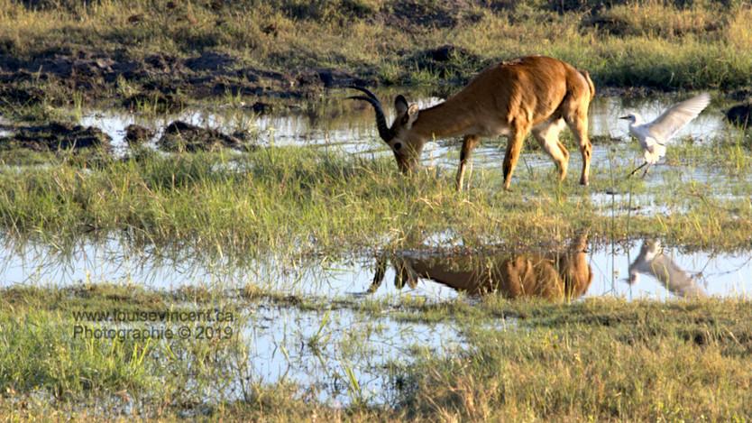 Impala à l'aube