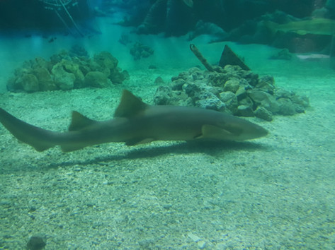 Shark at Jenkinson's Aquarium