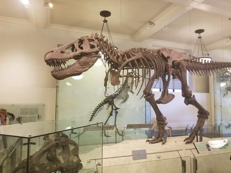 Tyrannousaurs Rex at the AMNH