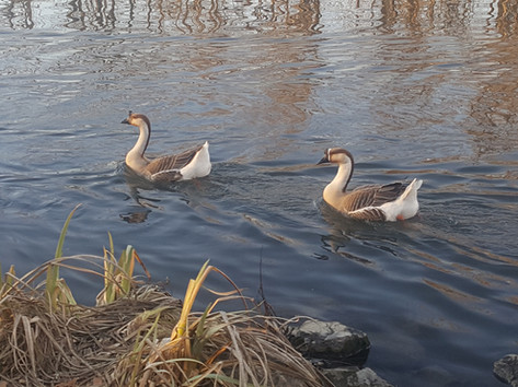 Chinese geese in... Virginia?