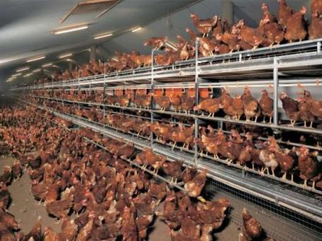 Pauvres poulets - Une géopolitique de l'oeuf