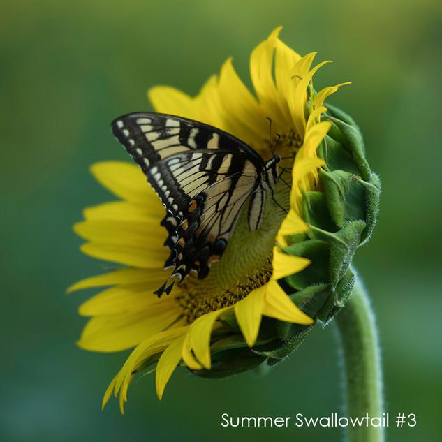 Summer Swallowtail #3