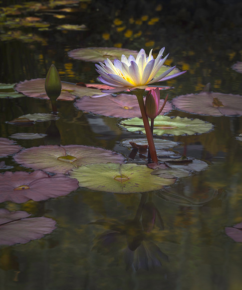 Water Lily Reflections #2