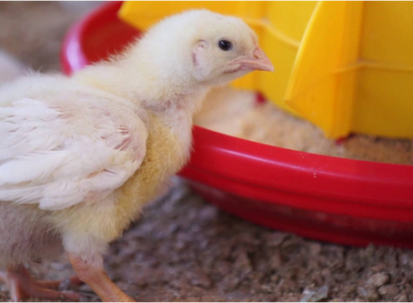 OSI Looks to Technology to Advance Chicken Sustainability