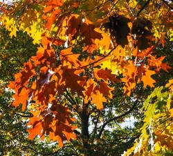 Autumn tree canopy