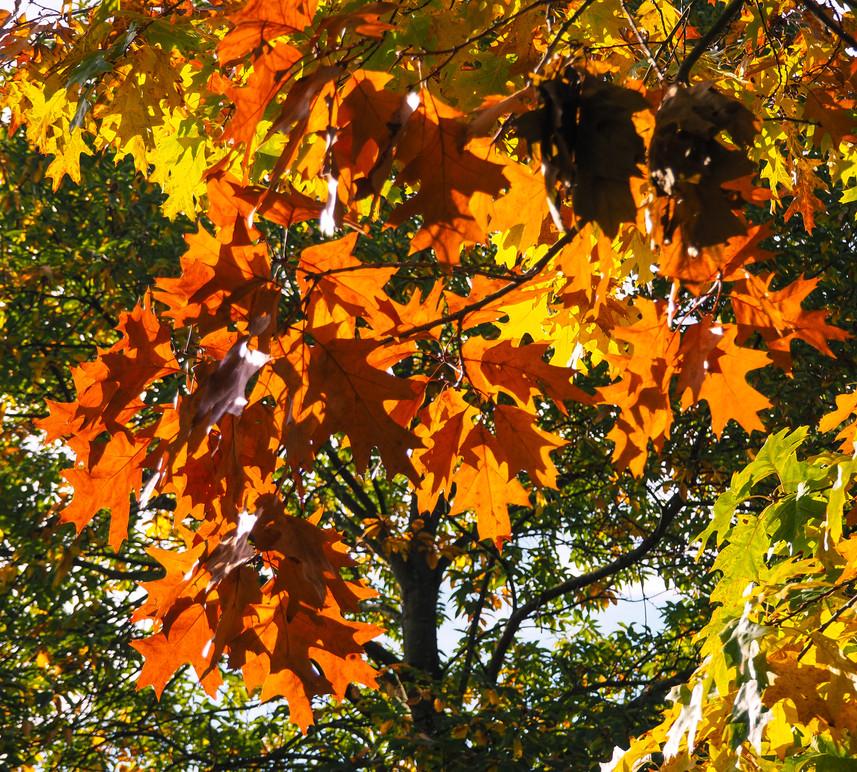 Autumn Tree Canopy (copyright: Philip J. Richter)