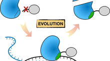Jin's paper on T7 RNAP C-term evolution in ChemBioChem