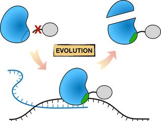 Jin's paper on T7 RNAP C-term evolution in ChemBioChem