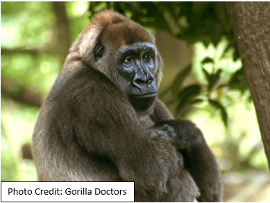 Histology in Uganda: Saving the Mountain Gorilla