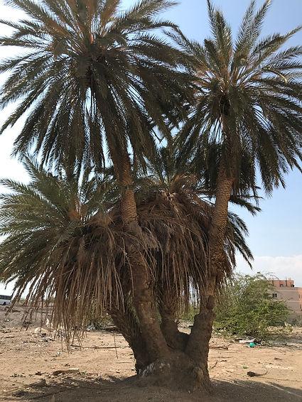 Old Medjool palm tree