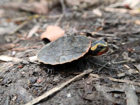 Rainbow Rarity – the Jardine River Painted turtle