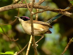 Purple-crowned Fairy-wren1024.jpg
