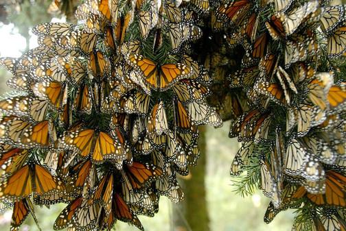 Mariposa-Monarca-2.jpg