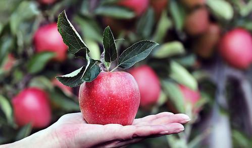 recoger-manzanas-Montreal.jpg