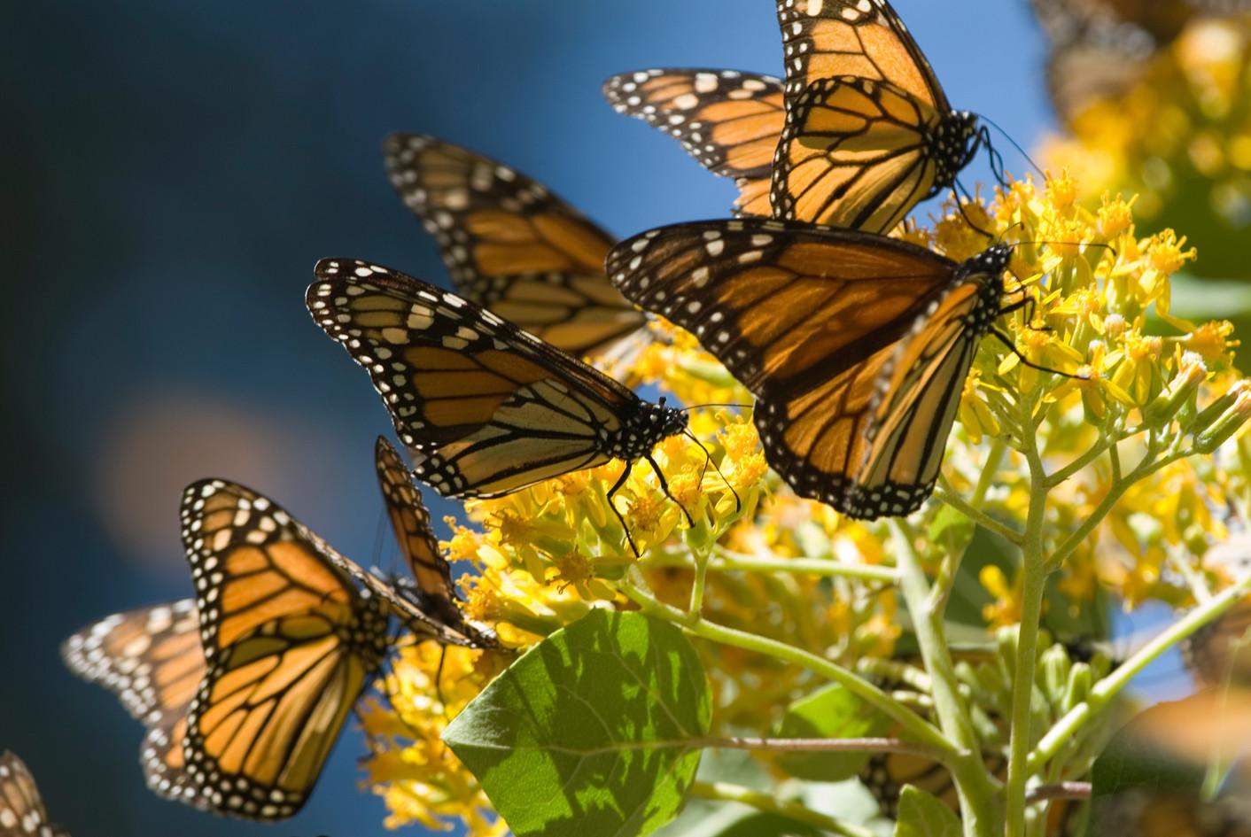 mariposa-monarca_patrimonio.jpg