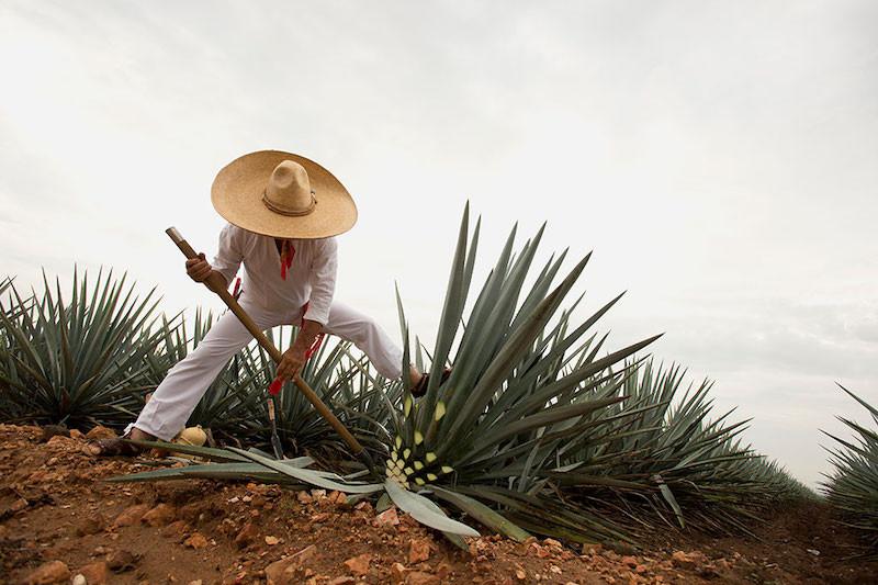 Jalisco-Tequila-Jimador-en-campo-agavero