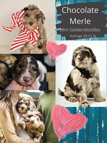 Chocolate Merle2.jpg