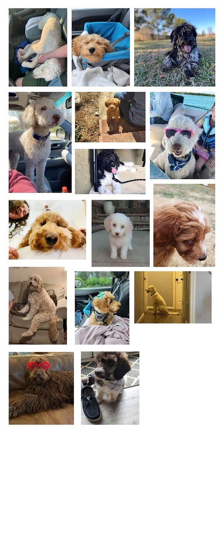 poodle doodle puppies georgia