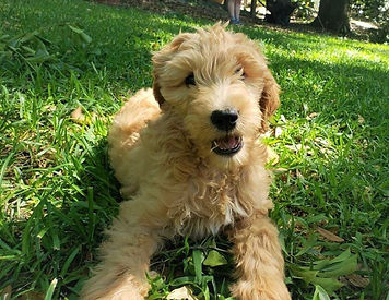 trained goldendoodle puppy