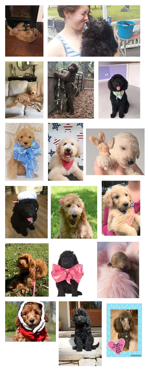 sweeet haven goldendoodle puppies