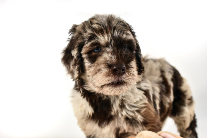 Chococlate merle goldendoodle