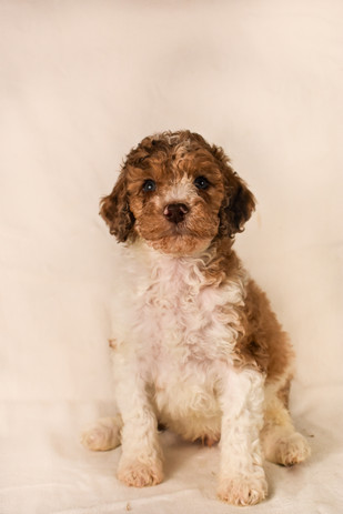 Chocolate merle goldendoodle