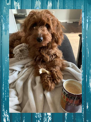 Red wavy Goldendoodle