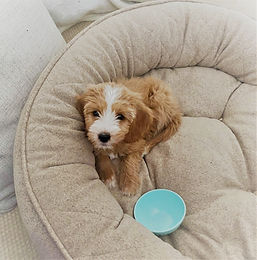 goldendoodle puppies sweethaven