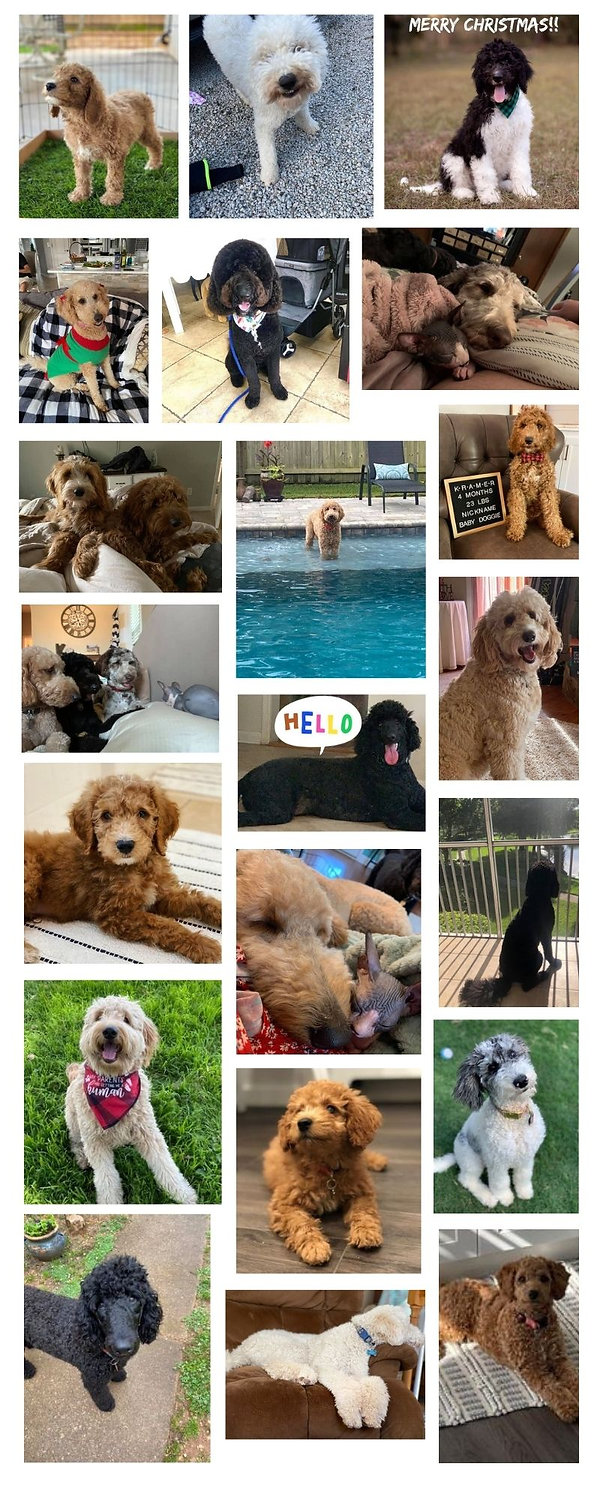 sweethaven goldendoodle puppies