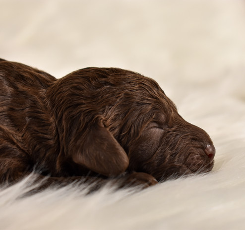 Chcocolate medium-mini goldendoodle